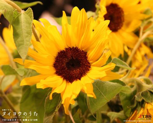 太阳之歌Taiyo no uta 2006 02B